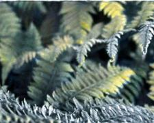 Fern Unfolding 2004 Mixed media on photograph 11 x 21""