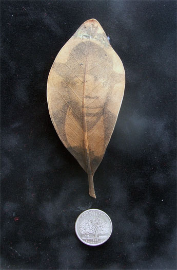 Migration #3, 2011, mixed media, intaglio on magnolia leaf, found objects, 5 x 7