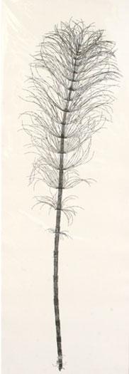 "Equisetum telmatiae, 2009, botanical monoprint, p.s. 42 x 15"" / i.s. 38 x 12"""